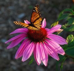 Purple Coneflower /ATTRACTS: Monarch Butterflies and Eastern Tiger Swallowtail Butterflies.  Loves water. Plant with Nicotiania, Glorisa Daisy and Violets.