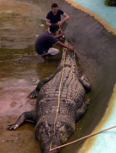 Lolong. The worlds largest crocodile, measuring 20ft and weighing over a ton.