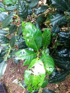 Cranberry Rootworm Beetle - Soils Alive, Inc. - Organic Lawn Care - Dallas, TX