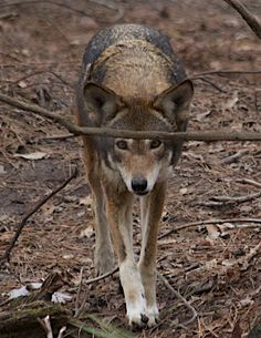 The red wolf was the first carnivore to be reintroduced to a portion of its historical range after being declared functionally extinct in the wild.