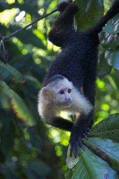 A white faced capuchin monkey in Costa Rica