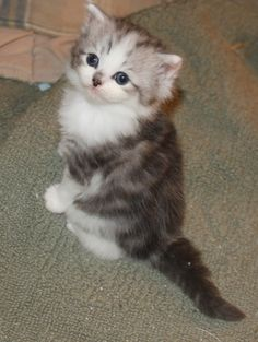 Male, silver shaded tabby with all the RagaMuffin traits. He will be available at the end of July. Ragamuffin Kittens, Adoption, Cats, Silver, Animals, Foster Care Adoption, Gatos, Animales, Animaux