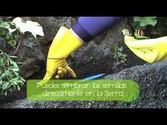 Siembra Semillas de Calendulas en el Jardin