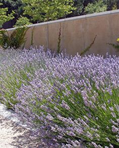 lavandula intermedia 'provence'  Other than good drainage, lavenders have few requirements. They prefer poor or rocky soil and flourish in full sun. Once established, they need very little water. The planting area should provide good air circulation, and they should be pruned after they bloom. They require no fertilizer or organic mulch. Instead, use pea gravel, decomposed granite, or sand. A sloping spot in a rock garden could be ideal for these hardy plants