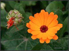 календула фото цветов: 14 тыс изображений найдено в Яндекс.Картинках
