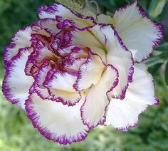 Portuguese Flowers - Cravo by 3 eyes again, via Flickr