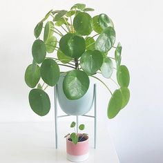 Mama and baby pilea looking fine chez @lulebylule Tag #pileaplace to be featured :) Pilea peperomioides, in Australia, for sale at www.pileaplace.cm