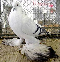 Ice Pigeon Photo from Zwonitz Show
