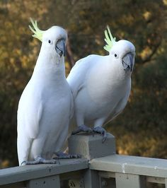 Sulphur-crested cockatoo, they look like my babies
