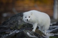 Tlcharger Fond d'ecran le renard arctique, blanc, renards, le renard polaire Fonds d'ecran gratuits pour votre rsolution du bureau 4386x2924 — image №652143
