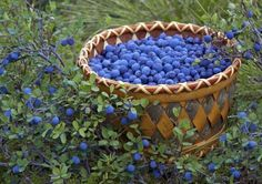 Explore Anchorage trailsides to find sweet, juicy salmonberries, cranberries and mountains of blueberries. Blueberry Picking, Blueberry Farm, Blueberry Season, Blueberry Recipes, Home Grown Vegetables, Beautiful Fruits, Alaska Travel, Delicious Fruit, Plantar