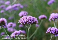 (Verbena bonariensis) blooms from seed with clusters of rosy-purple flowers that attract butterflies and hummingbirds.  re-seeding annual Rose Companion Plants, Companion Planting, Reseeding Lawn, Flowers That Attract Hummingbirds, Trumpet Lily, Water Wise Landscaping, Flowers Perennials, Ornamental Grasses, Verbena