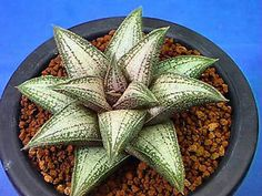 Succulent - Haworthia cv 'Gintaikyou'. I *love* haworthias!! This one is very cool but there are many variants that are equally cool!! (the best part is, I don't kill haworthias off like other succulents.)