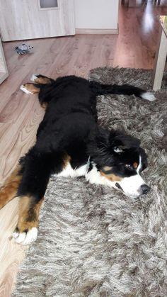 familiar Berner stretch on the floor