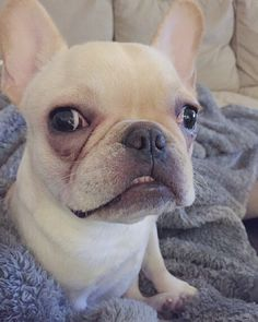 Derp  by winnie_the_frenchiepooh, French Bulldog Puppy