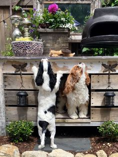Everything About Cavalier King Charles Spaniel Cavalier King Spaniel, Cavalier King Charles Dog, King Charles Spaniel, Large Animals, Cute Animals, I Love Dogs, Cute Dogs, American Cocker Spaniel, Cool Pets