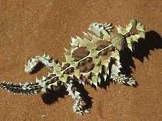 Thorny Devil (Moloch horridus) native to the Central Desert, Western Australia Reptiles Et Amphibiens, Mammals, Nature Animals, Zoo Animals, Wild Animals, Beautiful Creatures, Animals Beautiful, Desert Lizards, Australia Animals