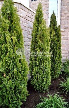 """Thuya occidentalis """"Degroots Spire"""".  Cèdre au port pyramidal étroit d'un vert moyen et au feuillage raffiné qui ne nécessite pas de taille. De croissance lente. Hauteur:3 m. Largeur: 60 cm. Zone3. SOLEIL, MI-OMBRE"""