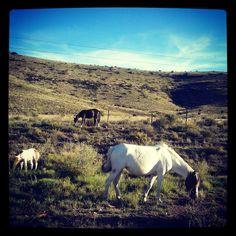 Wild Horses grazing in Nieu-Bethesda