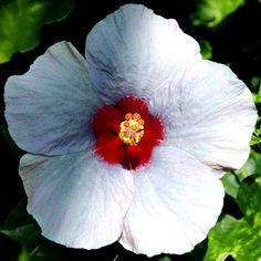 Exotic Hibiscus 'Am I Blue'                                                                                                                                                                                 More