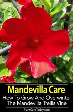 The colorful Mandevilla plant is a great vine for a trellis with it's bright, vivid rich colored flowers, perfect for decks and patios. Learn the secrets to successfully growing and care of Mandevilla plants, and how to overwinter it too! [DETAILS]