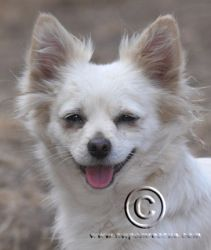 Lovey is an adoptable Pomeranian Dog in Portland, OR. Hi, I am Lovey. I was born on 08-28-10. I weigh 7 pounds. I have been spayed, microchipped and am UTD on my shots. I am housetrained. I love to pl...