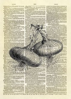 This print features an antique illustration of two white Spanish onions. The white Spanish onion has large bulbs that are somewhat flattened. The base is broad and sometimes a little hollow and uneven