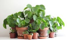 Pilea Peperomioides part 1 - taking care of a Pilea — Nininoes