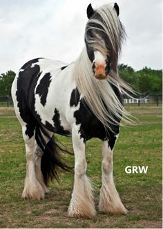 Gypsy Horse Most Beautiful Animals, Beautiful Horses, Beautiful Creatures, Magical Creatures, Animals Of The World, Animals And Pets, Cute Animals, Indian Horses, Gypsy Horse