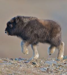 Baby Musk Ox -- how cute is this little guy!
