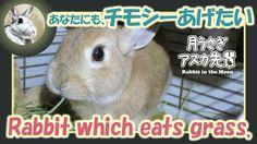 あなたにも、チモシーあげたい【ウサギのだいだい 】Rabbit which eats grass. 2016年4月21日