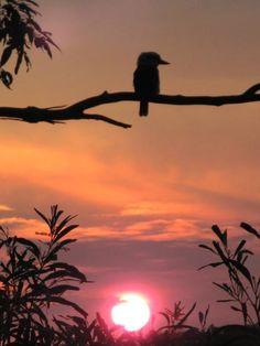 kookaburra sunset Australia Animals, Kingfisher, Ms Gs, Birds, Celestial, Sunset, Park, Nature, Life
