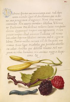 Hyacinth, Black Mulberry, and Caterpillar; Joris Hoefnagel (Flemish / Hungarian, 1542 - 1600), and Georg Bocskay (Hungarian, died 1575); Vienna, Austria; 1561 - 1562; illumination added 1591 - 1596; Watercolors, gold and silver paint, and ink on parchment; Leaf: 16.6 x 12.4 cm (6 9/16 x 4 7/8 in.); Ms. 20, fol. 94. High res image from the Getty Museum.