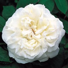 Winchester Cathedral partial shade rose