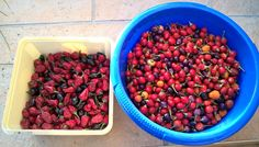 My Chili harvest 2016 . Harvest 2016, Chili, Blog, Lawn And Garden, Chile, Blogging, Chilis