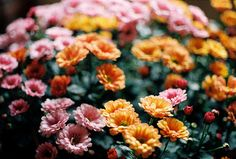 Spring Daisies, Khánh Hmoong