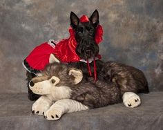 Scotty Dog Mazie, 5 years old, from Valarie Violante Pet Halloween Costumes, Pet Costumes, Daily Record, Costume Contest, Scottie Dog, 5 Year Olds, Westies, 5 Years, Scottish Terrier
