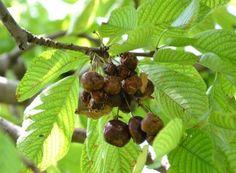 Cum împiedicăm viespile să vandalizeze via și livada Paradis, Salvia, Ale, Food, Terrariums, Green, Horsehair, Plant, Sage