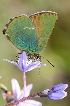 Gorgeous Green Hairstreak- charming color!