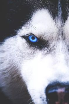 Blue eyed wolves