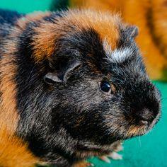 Young guinea pig by Petras Paulauskas