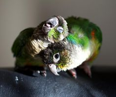 Green cheek conure cuddles are the absolute best cuddles!