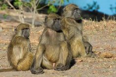 cool Bigger brains help primates cope with conflict Check more at https://epeak.info/2017/03/27/bigger-brains-help-primates-cope-with-conflict/