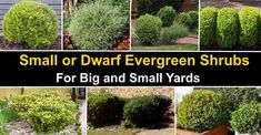 40 Small or Dwarf Evergreen Shrubs (With Pictures and Names) Dwarf Evergreen Shrubs, Evergreen Bush, Dwarf Shrubs, Evergreen Garden, Shrubs For Landscaping, Garden Shrubs, Garden Beds, Landscaping Ideas, Garden Plants