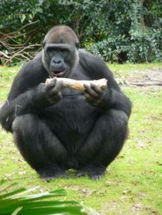 El ser humano y los antropoides probablemente evolucionaron a partir de un primate muy parecido al chimpancé moderno, y el procónsul, que vivió hace unos 25 millones de años. Es el más antiguo y recuerda a los grandes primates vivos.el ser humano no evoluciono a partir de otros antropoides sino que se iscindio de ellos. Al procónsul le siguieron seres que no eran humanos, pero se les parecía a los simios, y les llamaron homínidos.