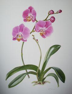 Roze Phalaenopsis 2012
