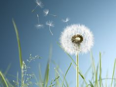 Learn the benefits that lawn weeds, such as clover and dandelion, have for your yard and why you shouldn't try to eradicate them. Common Lawn Weeds, Weeds In Lawn, Dandelion Weed, Clover Lawn, Wallpaper Companies, Inspirational Wallpapers, Album Design, Arts And Crafts Movement, Oil Painting Abstract