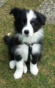 The cutest border collie puppy! Doesn't even look real - looks like an adorable little stuffed toy!
