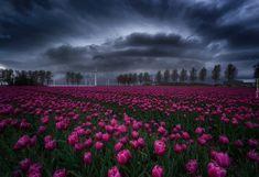 Holandia, Wieś Creil, Plantacja, Tulipany, Zachmurzone, Niebo