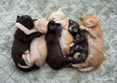 """From left to right, Helo, Gaius, Smokey, Paprika, Marble Rye and Anders. Starbuck was """"helping"""" me direct the photo shoot by stepping on everyone and biting their toesies.   These kittens are the youngest from our multi-generational family of 13 rescued during our Kitten Roundup. They are all the result of one un-spayed female.  Tinykittens.com"""